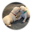 KTL Lab puppy cam-Angie