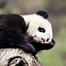 Panda hides behind tree, disappears completely