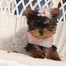 Yorkie Puppies by Ajjls Yorkies