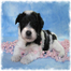 Schnauzer Lounge www.livepuppycam.com