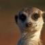 Kalahari_meerkats
