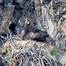 Golden Eagle Nest Camera