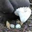 "AEF's ""Eagle Nest Cam"" # 2 4/30/12 05:11AM PST"