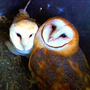 Barn Owls in Minden Nevada