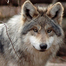 WCC Mexican Gray Wolf 2 Den