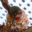 """Hummingbird Cam - """"Elsa"""" an Allen's Hummingbird"""