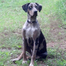 Wildfire Catahoula Dogs