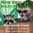 RaccoonsLive