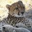Africam Cheetah Cubs