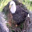 Mom, dad and eaglets in the nest