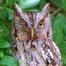 Screech Owls Live From Florida!