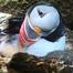 Audubon Puffin Burrow