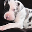 Great Danes - Service Dog Project Puppy Cam