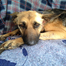 Southern California German Shepherd Rescue www.soc 01/09/11 09:03AM