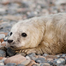 Gray Seal Pupping Cam