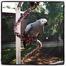 African Grey Parrots (Ghetto Birdz)