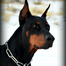 AKC Doberman Puppies For Sale