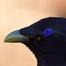 Satin Bowerbird - Australia