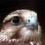 Kerecsensólyom / Saker Falcon
