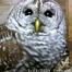 Barred Owls NY