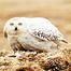 Arctic Snowy Owl Cam