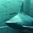 Cape Fear Shark Cam