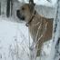 Boerboel South African Mastiff Puppies