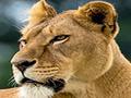 Lioness Nikita - Big Cat Rescue
