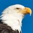 Sauces Bald Eagle - Channel Islands National Park