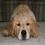 Sophie Golden Retriever Puppies