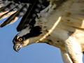 Charlo Montana Osprey Nest