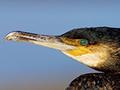 Audubon Cormorant Cam