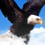 Parent watches proudly as eaglet prepares for flight