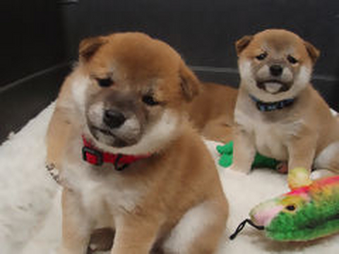 Shiba Inu Puppy Cam Ustream Tv Tune In Daily To See The