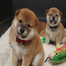 Christmas for the Shiba Inu pups!