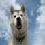 Koda the Siberian Husky