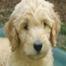 Corinth Doodles - Goldendoodle Puppy cam