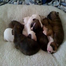 "boxer ""apple"" from labor to puppies"