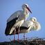 Stork Family Nest