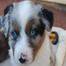 Aussie puppycam