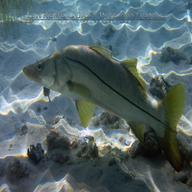 Capt joe 39 s fishing report for Snook nook fishing report