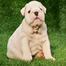 English-bulldog-puppies-for-sale