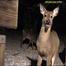 Raccoon 5-4-2013