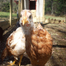 Grandma&#039;s Chicken Cam