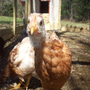 Grandma's Chicken Cam