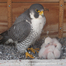 Rochester Falcons at Times Square Nest Box, View 2