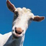 Goat Television recorded live on 5/6/12 at 3:47 PM EDT
