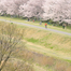 sakura238_yoidore