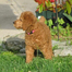 Lucky Poodle PuppyCam