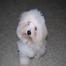 Amazing Grace Coton's Puppy Cam